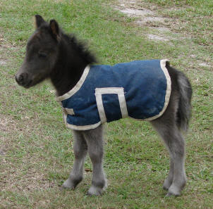 Miniature horse foal with blanket