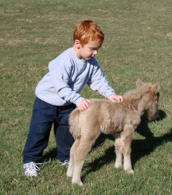 Boy with miniature horse foal.