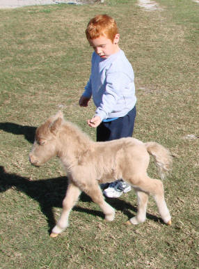 Boy with running miniature horse foal.