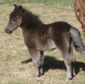 Female miniature horse foal.