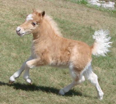 Red roan miniature horse stud colt foal.
