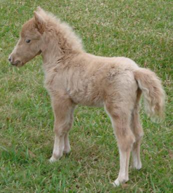 Dun miniature horse foal