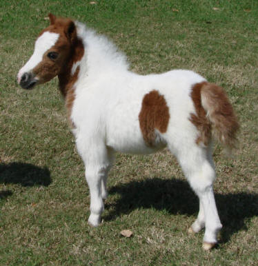 Sorrel pinto miniature horse foal