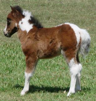 bay pinto miniature horse foal