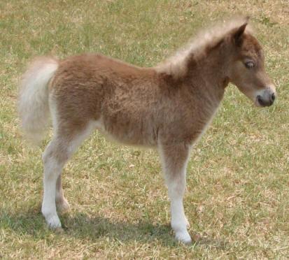 silver dun miniature horse foal