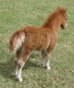 roan miniature horse foal