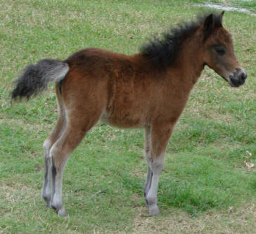 miniature horse for sale bay filly