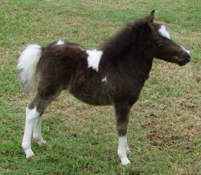 miniature horse for sale black pinto filly