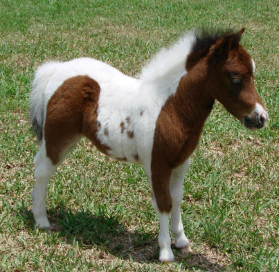 miniature horse for sale bay pinto