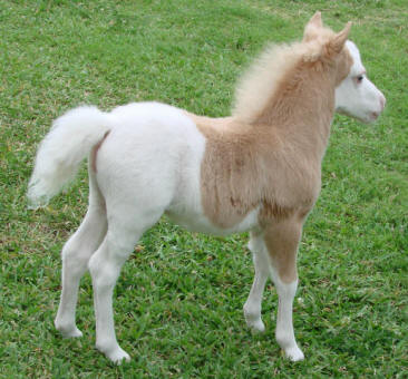 miniature horse for sale palomino pinto stud colt