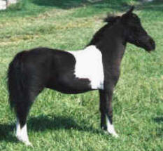 Black pinto miniature horse.