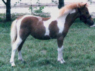 Red roan pinto miniature horse