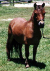 Red bay miniature horse