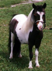 Dark chestnut pinto miniature horse