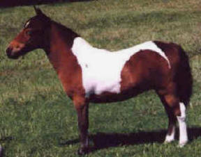 Red bay pinto miniature horse