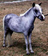 Dapple grey miniature horse