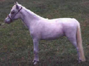 Grey miniature horse.