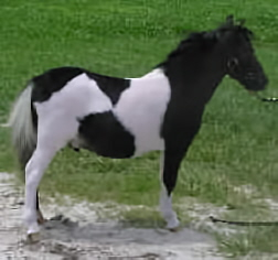 Black pinto miniature horse