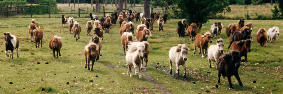 miniature horses broodmares running