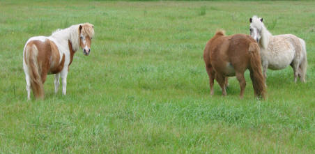 Miniature horse mares in pasture.
