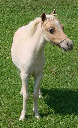 miniature horse for sale red roan