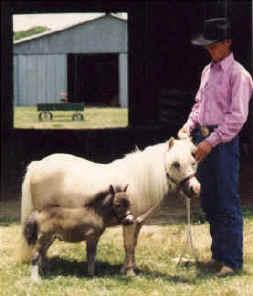 miniature horses show